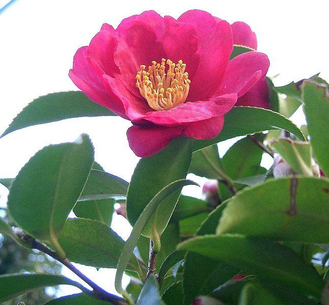 http://lock07.free.fr/Okami/647px-Camellia_sasanqua1.jpg