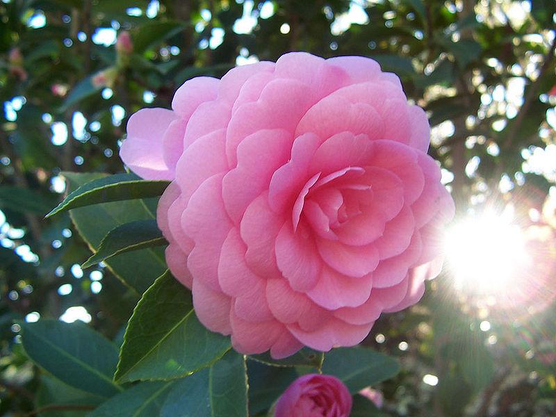 http://lock07.free.fr/Okami/800px-Camellia_japonica.jpg